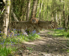 Tawny in the wood's (Steven Whitehead) Tags: bird nature birds forest canon flying woods hunting feathers owl birdofprey tawny 2016 tawnyowl canon1dx