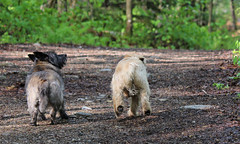 Jeter & Sedum - 5/23/16 (myvreni) Tags: pets dogs nature animals spring vermont cairnterriers