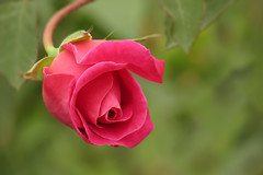 Beauty (fucsia_7) Tags: pink flower rose canon one rosa