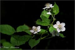 23 (munn1) Tags: wild canada flower green nikon blackberry ambient coquitlam nik polarizer blackberries nikor week23theme photoshopcc lightroomcc 2016060352weeks
