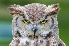 The look (Explored) (Happy snappy nature) Tags: portrait closeup canon funny owl captive ironworks eyesfront 7dmkii 100400mkii