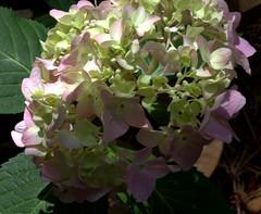 IMG_8707.CR2 (jalexartis) Tags: flowers flower spring bloom hydrangea blooms shrub shrubbery pinkhydrangea