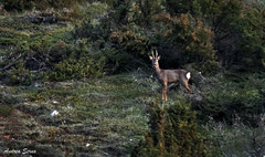 Hi little deer {Capreolus capreolus} (Cazadora de Fotos) Tags: wild naturaleza male fauna photography free natura deer monte macho libre roe anochecer ciervo iberica iberico salvaje corzo