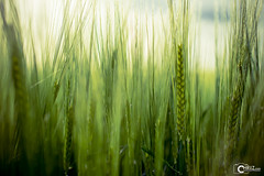 Cereals (CHRiiZ) Tags: sun green nature nikon outdoor wildlife natur gras nikkor sunrays cereals sonne sonnenstrahlen getreide natureporn nikkor40mm nikond5300 chriiz