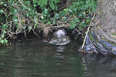 European otter (Lutra lutra) with lamprey (3) (Geckoo76) Tags: river otter lamprey europeanotter