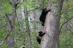 Tree Bear Jam (bbosica20) Tags: nature cub virginia wildlife sow blackbears treeclimbing blackbearcub