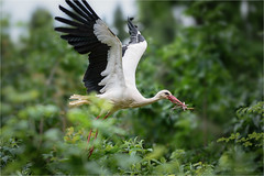 up, up and away (klaus.huppertz) Tags: bird nature animal forest nikon outdoor wildlife natur flight wing feather aves 300mm telephoto d750 tele heidelberg nikkor vgel wald stork tier vogel storch flug whitestork flgel feder ciconiaciconia ciconia vogelflug nikkor300mm ciconiidae weisstorch nikonafsvrnikkor300mmf28gifed 300mmf28gvrii nikond750