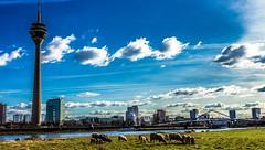 Sheep / Skyline (Norbert Clausen) Tags: city blue sky nature water skyline river landscape outdoor natur gehry architektur fernsehturm hafen dsseldorf rhine rhein rheinpromenade medienhafen architekture gebudekomplex