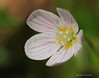 Wood Sorrel (alison brown 35) Tags: wood uk wild brown flower macro nature canon woodland photography spring ngc 100mm chorley 7d april alison 35 oxalis countrypark sorrel 2016 lseries yarrowvalley acetosella awesomeblossoms