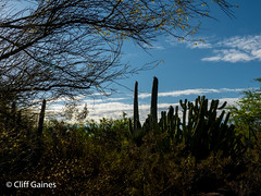 P1170336.jpg (CliffGaines) Tags: cactus plants nature sunrise desertbotanicalgardens photoseveryday lumixfz300