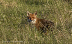 Red Fox Vulpes Vulpes (Steven Mcgrath (Glesgastef)) Tags: city uk red wild urban nature animal scotland glasgow wildlife fox springburn vulpes