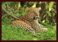 LEOPARD (Panthera pardus) ...MASAI MARA.....SEPT 2014 (M Z Malik) Tags: africa nikon kenya wildlife ngc safari npc leopard kws masaimara d3x flickrbigcats exoticafricancats exoticafricanwildlife 200400mm14afs