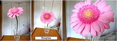Perception angle (Julie70 Joyoflife) Tags: flower london rose collage fleurs perception together screendump hights experiences threetogether photosjuliekertesz
