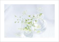 Blancheur florale (P@ti16) Tags: fleur canon highkey fleurblanche canon100mm canon70d
