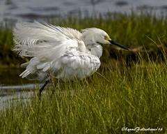 heronfluff1a (lfalterbauer) Tags: heron nature photographer snowy wildlife stoneharbor egret egretta wetlandsinstitute thula canon7dmarkii 100400mmii
