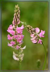 Die nette Verbeugung (Harald52) Tags: natur pflanze feld wiese blte esparsette