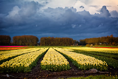 Darkness And Light (Alfred Grupstra Photography) Tags: field clouds landscape tulips nederland nl noordholland wervershoof