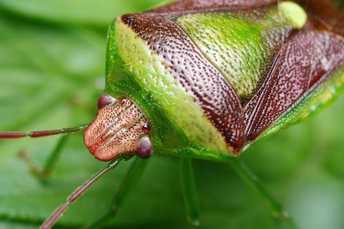 Shield Bug (Close-up)