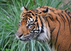 AK Tiger (Timfy Mills) Tags: animal tiger kingdom disney serengeti nikon28300mm nikond610