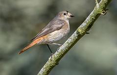 Redstart...... (jefflack Wildlife&Nature) Tags: nature birds forest countryside woodlands wildlife farmland avian powys songbirds redstart wildbirds redstarts