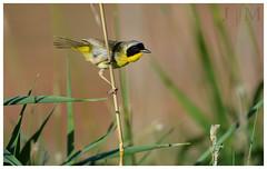Common Yellowthroat - Edwin B. Forsythe NWR (NJ) (BROAD-WINGED BIRDING) Tags: birds june newjersey birding atlanticcounty 2016 forsythenwr commonyellowthroat geothlypistrichas woodwarbler
