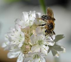 Same bee, same flower (conall..) Tags: scotlandjune2016 thrift ornamental armeria bee raynox macro kingsbarns walled garden camboheritagetrust cambogardens fife