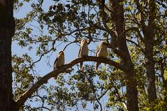 015 kookaburras, Finch Hatton, Queensland (johnjennings995) Tags: queensland kookaburra finchhatton