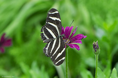 Butterfly 2015-21 (michaelramsdell1967) Tags: flowers white plant black flower color green beautiful beauty animal animals closeup butterfly garden insect spring wings colorful purple vibrant wildlife wing butterflies vivid insects bugs upclose boheh zebrawing