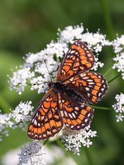 Scarce Fritillary (chaz jackson) Tags: macro butterfly insect hungary fritillary nymphalidae bukk scarcefritillary euphydryasmaturna