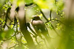 DSC00847.jpg (dumdidum_) Tags: vogel rabenvogel eichelhher rebenvgel