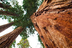Founders Group, Sequoia National Park, CA (christinechophotography) Tags: tree nature sequoia sequoianationalpark
