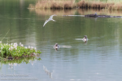 Pair of Loons and Arctic Tern