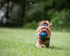 PLAY BALL (Explore) (BHawk Photography) Tags: dog yorkie ball spring lily action indiana yorkshireterrier lilybet bhawkinsphotography