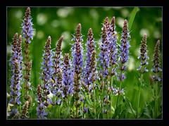 Gartensalbei (karin_b1966) Tags: flowers plant nature garden natur blossoms pflanze blumen garten blten 2016 yourbestoftoday gartensalbei