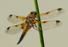 Four-spotted Chaser. Libellula quadrimaculata.Male. form praenubila (gailhampshire) Tags: male form chaser libellula fourspotted quadrimaculata praenubila taxonomy:binomial=libellulaquadrimaculata