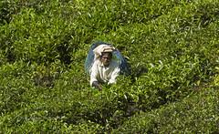 Tea plantation worker (P K Gupta VNS) Tags: teagardens teaplantation tealeafpicker teaworker coonoor tamilnadu