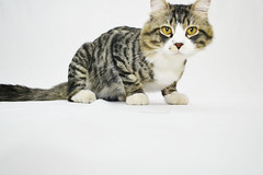 Kookie the cat (dima_abuarida) Tags: pet white animal cat photography nikon jordan backdrop kedi homestudio kookie homephotography d3100