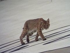 Bobcat, June 12, 2016 (gurdonark) Tags: bobcat wildlife cat wild plano texas chisholm trail