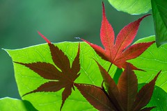 Maple leaf (JPShen) Tags: green maple heart shaped redbud