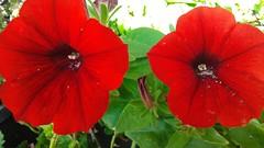 two beauties in the garden (ènfin (verna)) Tags: picmonkey magicmomentsinyourlifelevel3 exquisiteflowers flowerarebeautiful mixofflowers macroelsalvador red petunias