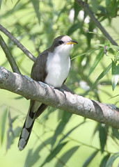 _53F6327 Yellow-billed Cuckoo (~ Michaela Sagatova ~) Tags: canon cuckoo yellowbilledcuckoo birdphotography michaelasagatova