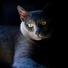 Blue in Black Curtains (The Good Brat) Tags: blue light shadow portrait black window us feline co curtains drapes vignette russianblue