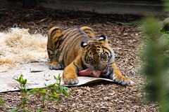 Tiger Cub Snack (james.froumis) Tags: animal zoo cub nikon sandiego tiger snack d750 safaripark 70300mmvr