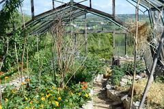 Inside the glasshouse on Jasmine's plot (Permaculture Association) Tags: wales gathering ecovillage permaculture 2016 lammas cyrmu paramaethu