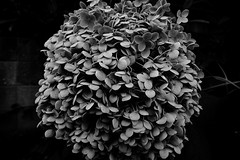 20160630_DP0Q3787 (NAMARA EXPRESS) Tags: street shadow blackandwhite plant flower monochrome japan cloudy outdoor sigma osaka hydrangea foveon quattro toyonaka dp0 namaraexp