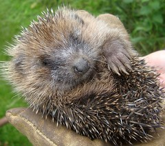 Trapped. More Hedgehog Trouble 3. (Margaret Edge the bee girl) Tags: face animal garden mammal hedgehog spines