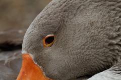IMG_2522_DxO (douglasjarvis995) Tags: close birds bird animal goose eyes eye canon 70d 300mm f4