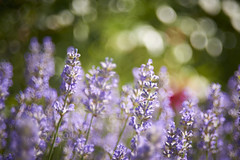 Lavender (uli@l) Tags: blue summer sunlight plant france flower floral beautiful beauty field sunshine garden french evening countryside colorful perfume purple natural bokeh gardening violet lavender m42 fragrant provence herbal aroma helios blooming d800 aromatherapy helios44