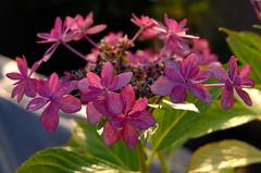 170/366 : Potted Hydrangea (hidesax) Tags: leica roof light plants sun green home japan balcony x hydrangea saitama sunlit vario  ageo 365project 366project 170366 pottedhydrangea hidesax 366project2016