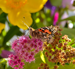 Painted Lady Butterfly (Claire-Louise Beyga) Tags: pink flowers summer green yellow closeup butterfly insect spring pretty colours feeding bokeh marco nectar oranges 4thjuly paintedlady 2016 ukbutterflies insectlore